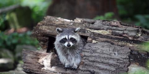 What to Know About Raccoons & Signs of Their Presence, New Milford, Connecticut