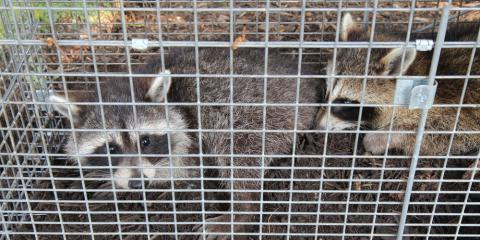 The Importance of Raccoon Removal & Control, Ogden, New York