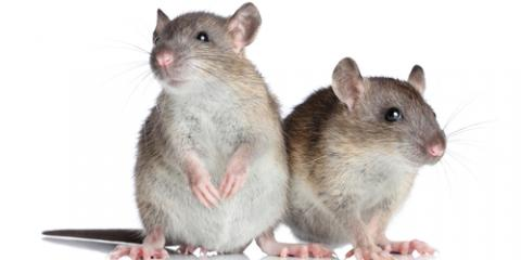 Winter Rodent Control: Why Mice & Rats Seek Shelter in Homes & Businesses, St. Louis, Missouri
