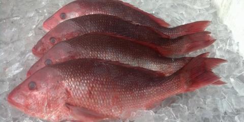 Commercial vs Recreational Red Snapper Fishing, Bon Secour, Alabama