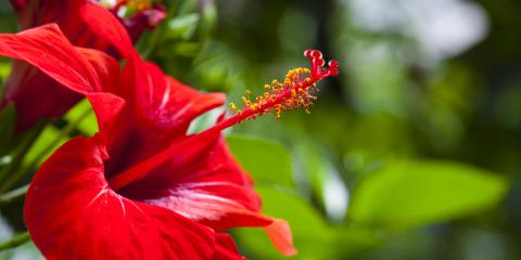 5 Causes of Yellow Leaves on Tropical Hibiscus Plants, Kihei, Hawaii
