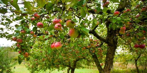 How to Properly Prune a Fruit Tree, Robertsdale, Alabama