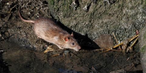Rodent Control Experts Share 4 Facts About Rats in Hawaii, Ewa, Hawaii