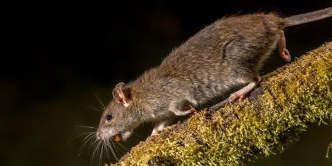 What Is the Difference Between a Roof Rat & a Norway Rat, Port Orchard, Washington