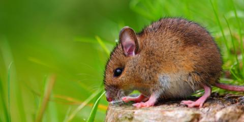 A Homeowner's Guide to Rodent Gnawing, Wailuku, Hawaii
