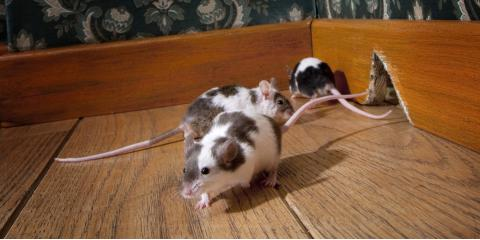 Cincinnati Rodent Removal Experts Earn Great Reviews, Springfield, Ohio
