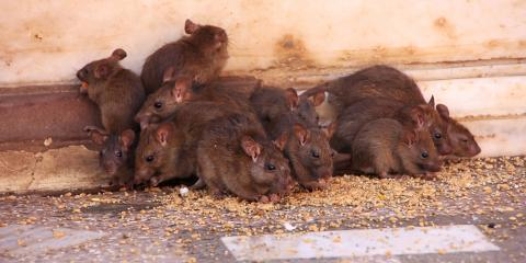 Rodent Removal Experts List 5 Signs Your Home Is Infested With Mice, Reading, Ohio