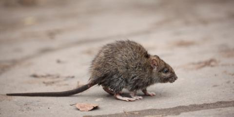 3 Reasons to Hire a Rodent Removal Company, Amelia, Ohio