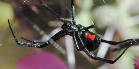 How to Identify Harmless & Dangerous Spiders, Bolivar, Missouri