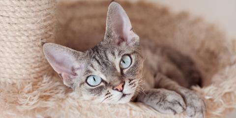 Top 5 Most Hypoallergenic Cat Breeds, San Marcos, Texas