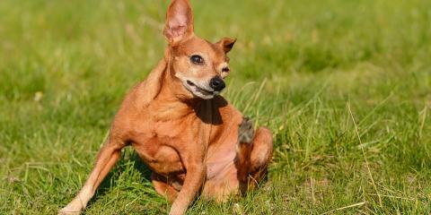 4 Steps to Eliminate Fleas on Your Dog, Sanford, North Carolina