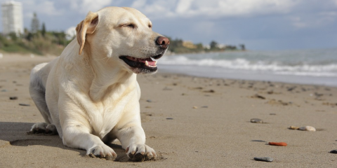 5 Animal Care Tips to Keep Dogs Safe at the Beach, Ewa, Hawaii