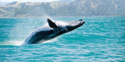 3 Potential Explanations for Whale Breaching, Kekaha-Waimea, Hawaii