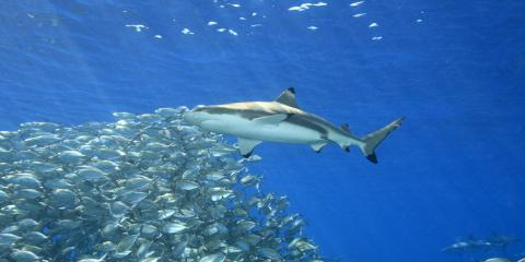 4 Shark Species You Can See in Hawaii, Waialua, Hawaii