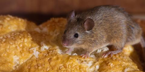 Animal Removal Experts on the Difference Between House Mice & Deer Mice, New Milford, Connecticut