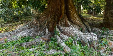Why Tree Roots Invade Pipes & How to Spot Problems, Honolulu, Hawaii