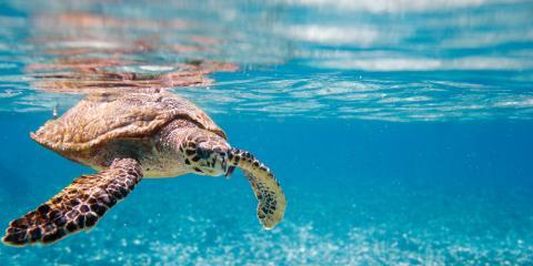 A Quick Guide to Green Sea Turtles, Kekaha-Waimea, Hawaii