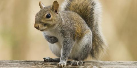 Saint Louis' Squirrel Removal Experts Share 4 Ways to Prevent an Infestation, St. Louis, Missouri
