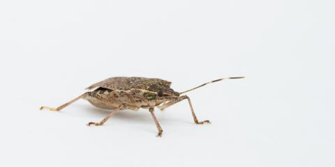 A Home Pest Control Company Answers Stink Bug FAQs, Greece, New York