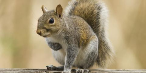 3 Reasons Squirrel Removal Is Dangerous, Ogden, New York