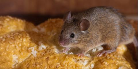 3 Signs Your Home Has a Mice & Rat Infestation, Rochester, New York