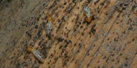 Oahu Pest Control Experts Describe 7 Types of Hawaiian Termites, Wahiawa, Hawaii