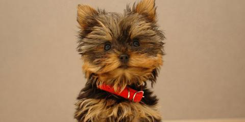 yorkie for sale , Manhattan, New York