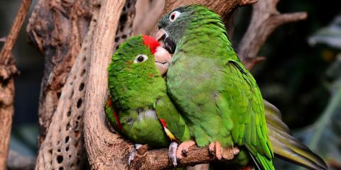 4 Fun Facts About Lovebirds, Ewa, Hawaii