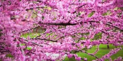3 Common Flowering Trees in Kentucky, Florence, Kentucky