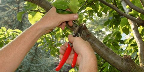 Pruning Trees 101: Kruger Arborists Explains How Often & Why You Should Do It, West Hartford, Connecticut