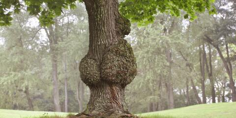 4 FAQs Answered About Burls on Trees, Nicholasville, Kentucky