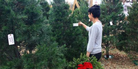 Are Real or Artificial Christmas Trees Better for the Environment?, Smithtown, New York