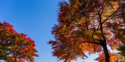Arbormasters' Guide to Trimming Maple Trees, Owings Mills, Maryland