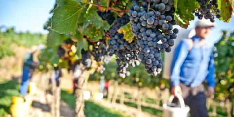 A Guide to Harvest Season in Napa Valley, Calistoga, California