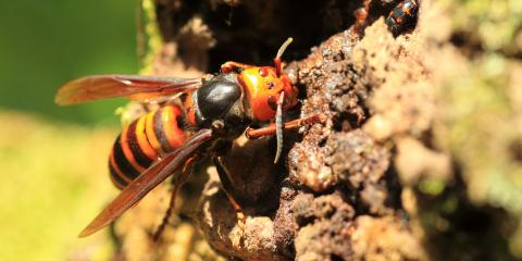 4 FAQ About the Asian Giant Hornet, Port Orchard, Washington