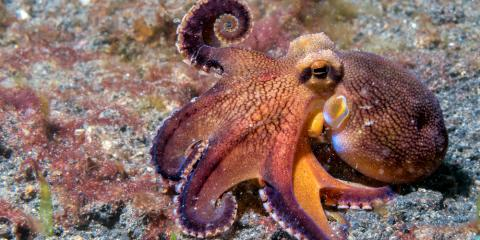 Snorkeling Guides Reveal Just How Intelligent Octopuses Are, Waianae, Hawaii