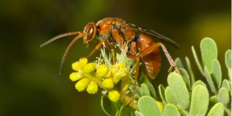 Wasp Control Basics: Understanding Mahogany Wasps, Bolivar, Missouri