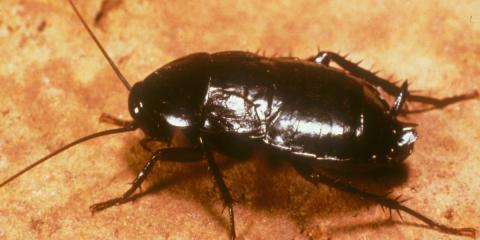 Pest Of The Week: Oriental Roaches AKA Waterbugs, Amelia, Ohio