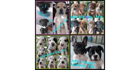 Current Puppies at The Pet Hale! 10-28-19, Ewa, Hawaii