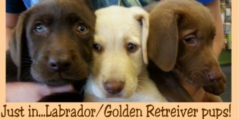 Golden retriever puppies oahu