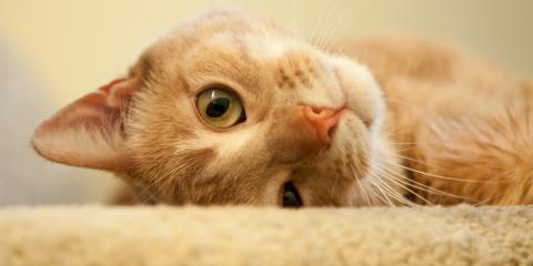 How a Carpet Cleaning Service Can Help You With Pet Stain Removal, Penfield, New York