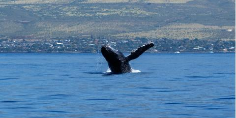 What You Should Know About Whales in Hawaiian Culture, Waianae, Hawaii