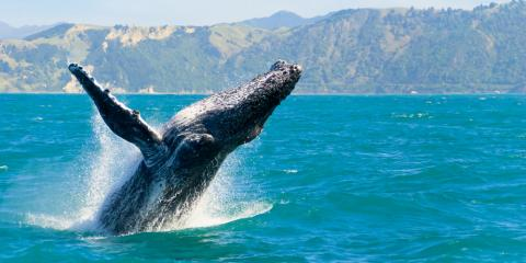4 Behaviors to Look for on a Whale Watching Tour, Waianae, Hawaii