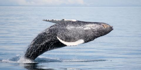 Whale Watching Season Is Approaching! Reserve Your Tour Now, Kekaha-Waimea, Hawaii
