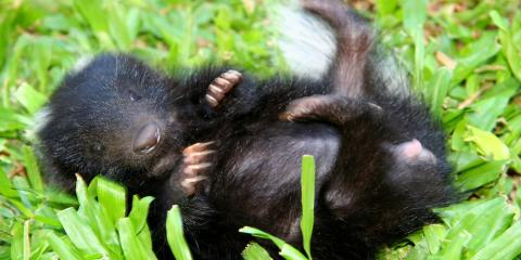 What You Need to Know About Skunk Removal , Caddo Mills, Texas