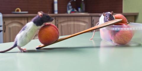 Exterminator Explains the Common Causes of a Rat Infestation, St. Louis, Missouri