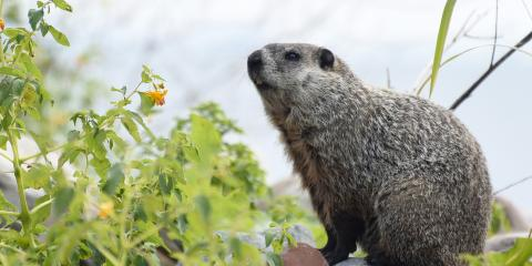 How to Identify Woodchuck Damage, New Milford, Connecticut