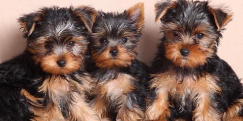 yorkies puppies for sale, Manhattan, New York
